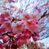 Cvetanje trešanja