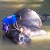 Sri Lanka - kupanje slonova - slon - slonovi - hram