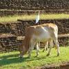 Sri Lanka Sigiriya - Sigirija - Zivotinje - krava -lavlja stena