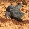 Sri Lanka - varan - zivotinje - guster - toplota - polanoruva - nacionalni park - meso