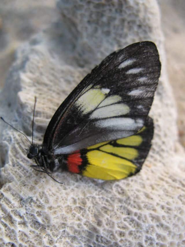 Tajland - leptir