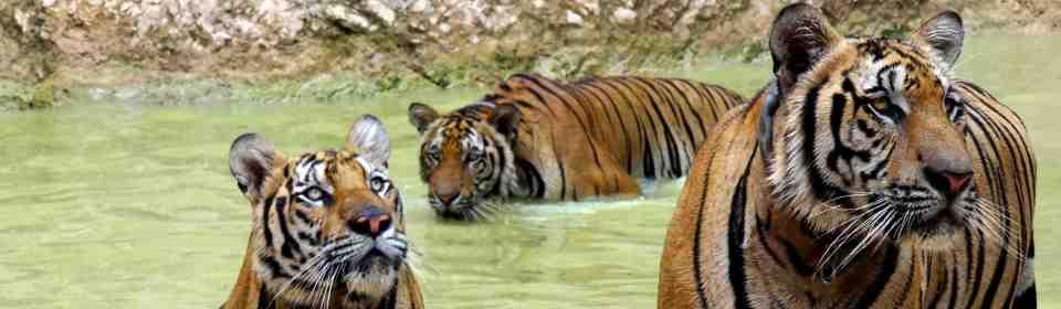 hram tigrova