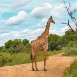 safari mikumi giraffe