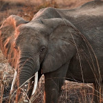 Safari - Nacionalni park Mikumi u Tanzaniji